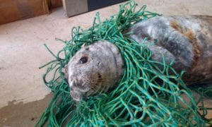 Seal tangled in netting
