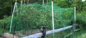 Advice For Netting Your Blueberry Bushes